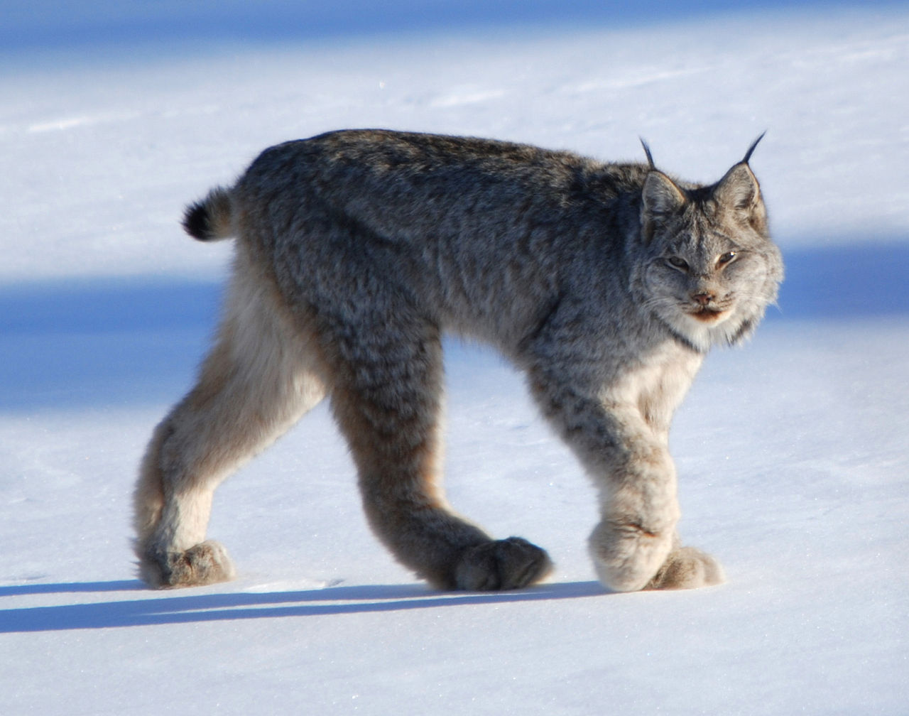 1280px-Canadian_lynx_by_Keith_Williams