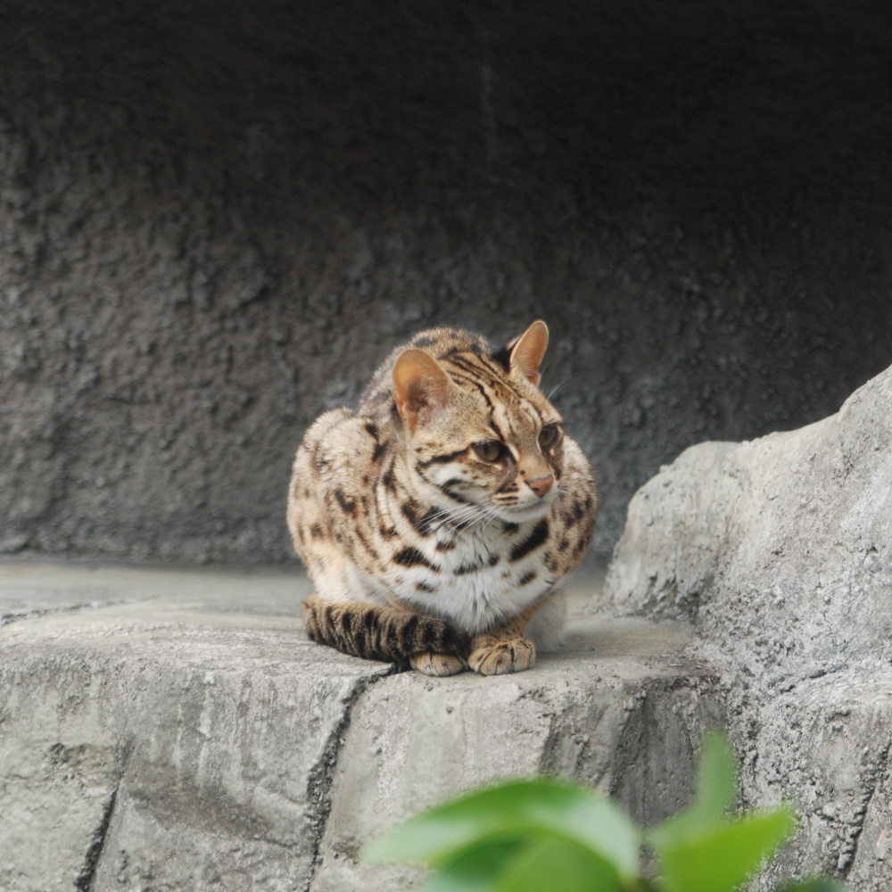 Leopard_Cat_Tennoji