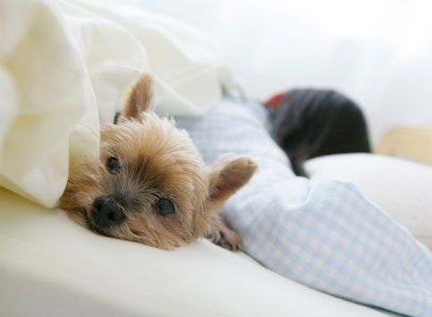 Japanese girl sleeping beside dog in bed in the morning