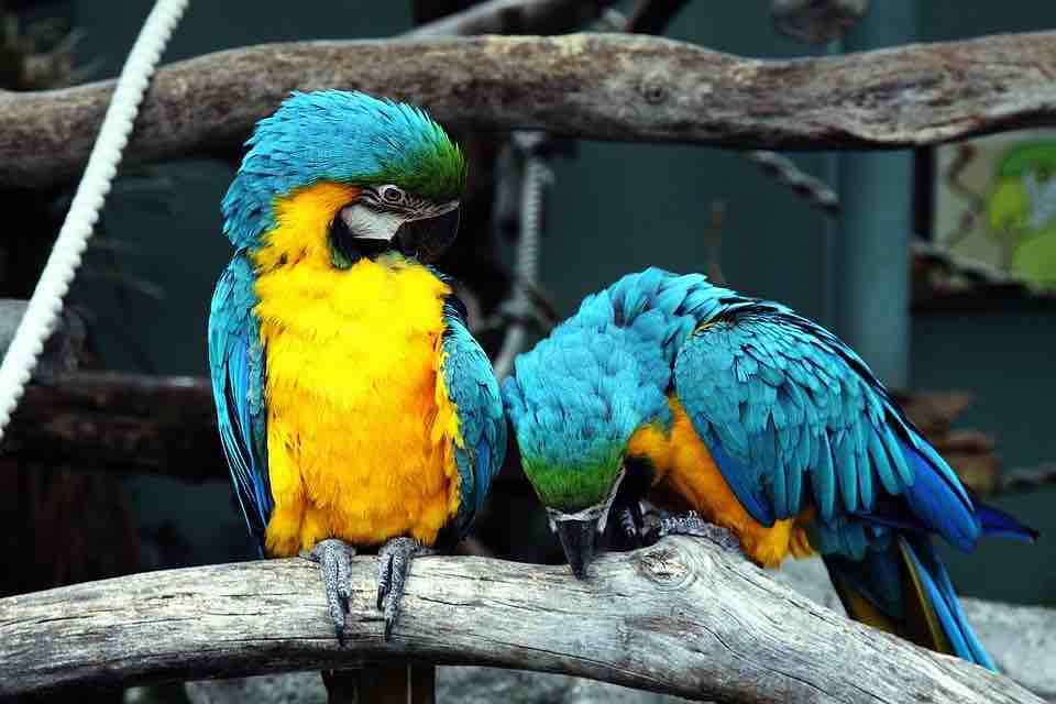 blue-and-yellow-macaws-1653192_960_720