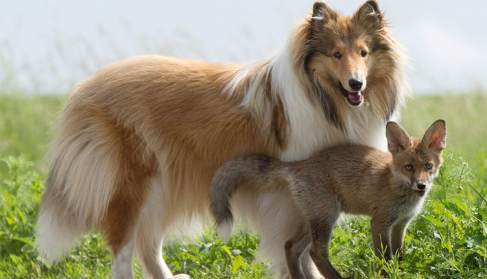 9-collie-adopts-fox-710x407